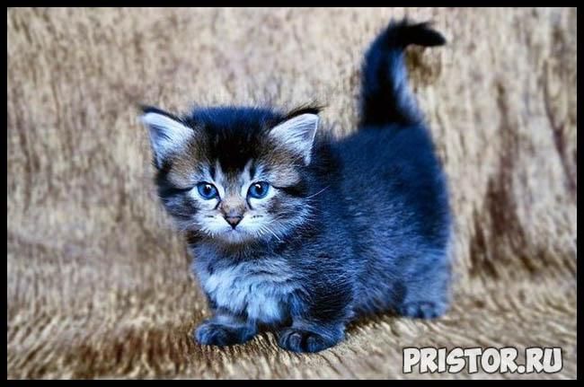 Манчкин кошка - фото, описание породы, характер 7
