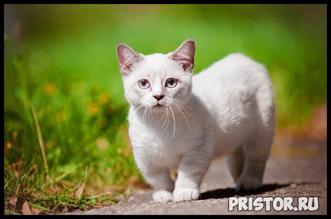 Манчкин кошка - фото, описание породы, характер 9