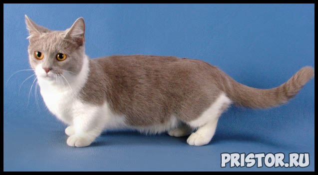 Манчкин кошка - фото, описание породы, характер