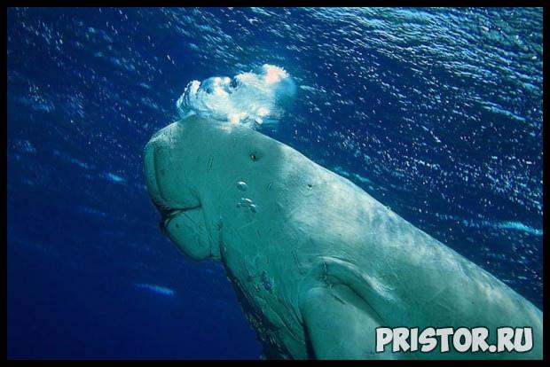 Морская корова дюгонь - прикольные фото смотреть бесплатно 4