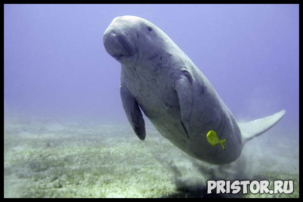 Морская корова дюгонь - прикольные фото смотреть бесплатно 5