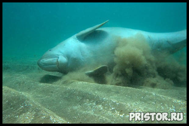Морская корова дюгонь - прикольные фото смотреть бесплатно 8