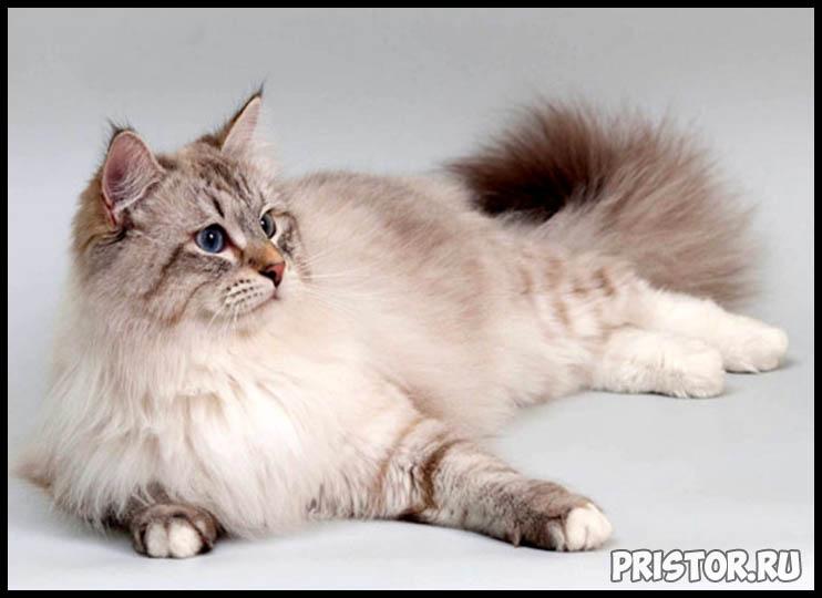 Невская маскарадная кошка фото 2