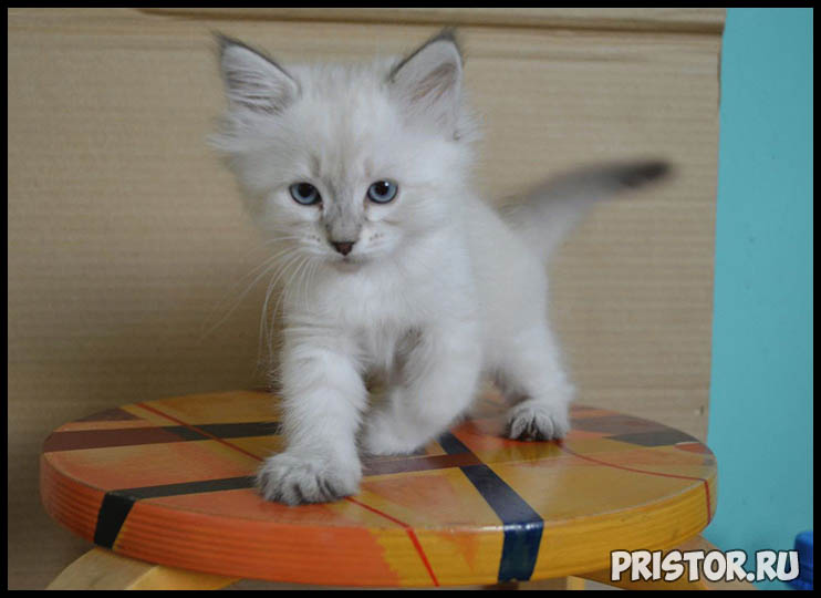 Невская маскарадная кошка фото 3