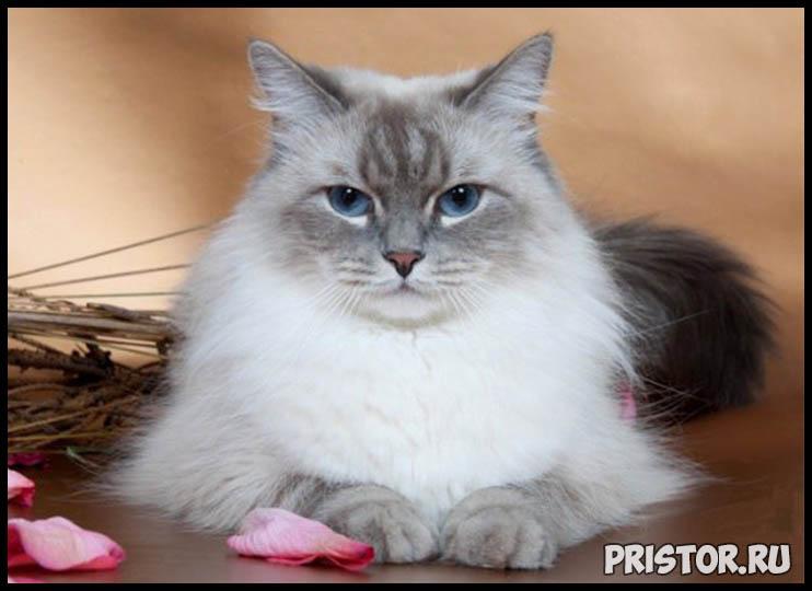 Невская маскарадная кошка фото 4