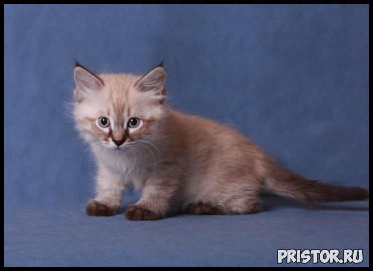 Невская маскарадная кошка фото 5