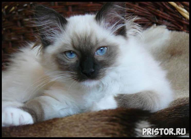 Невская маскарадная кошка фото 6