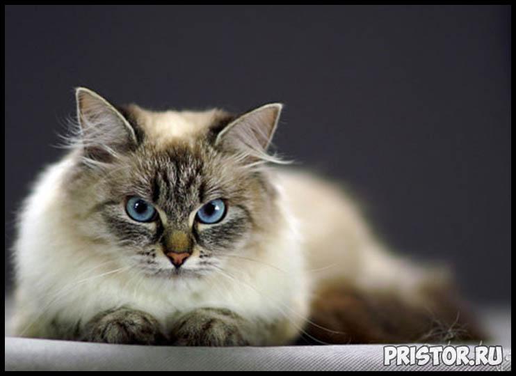 Невская маскарадная кошка фото 7