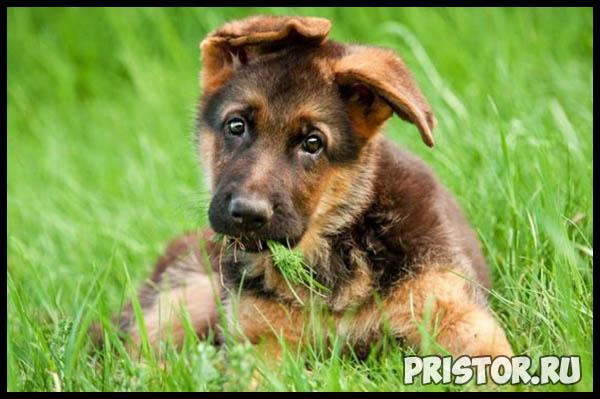 Немецкая овчарка - фото, описание породы, характер, щенки как выбрать 8