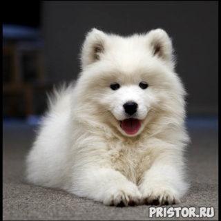 Порода собак самоед - фото, описание породы, уход, характер 1