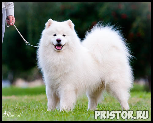 Порода собак самоед - фото, описание породы, уход, характер 2