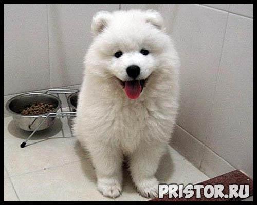 Порода собак самоед - фото, описание породы, уход, характер 3