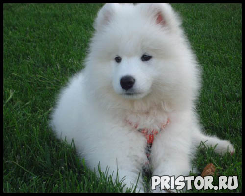 Порода собак самоед - фото, описание породы, уход, характер 4