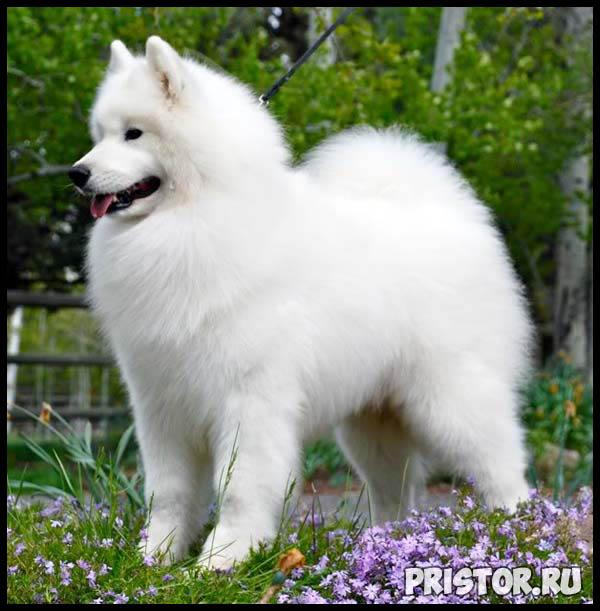 Порода собак самоед - фото, описание породы, уход, характер 5