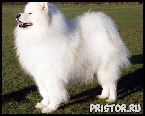 Порода собак самоед - фото, описание породы, уход, характер 6