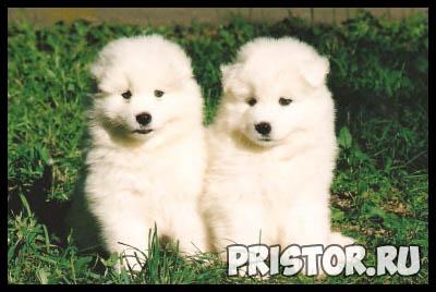 Порода собак самоед - фото, описание породы, уход, характер 7