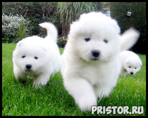 Порода собак самоед - фото, описание породы, уход, характер 8