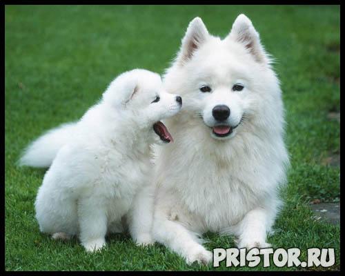 Порода собак самоед - фото, описание породы, уход, характер 9