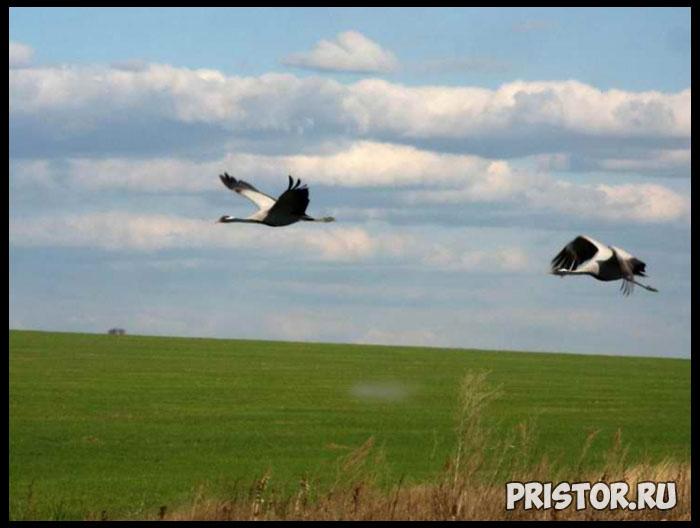 Птица журавль красавка фото 6