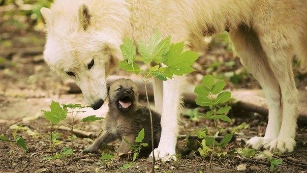 Скачать фото волка бесплатно 12