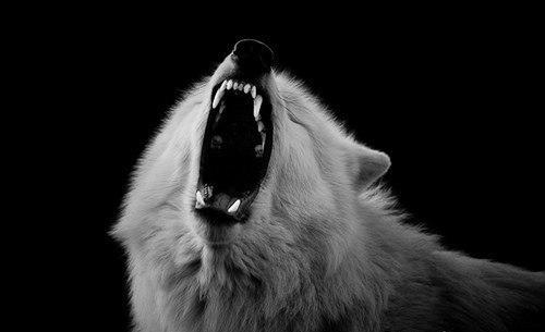 Скачать фото волка бесплатно 16