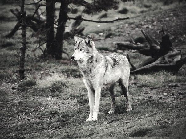 Скачать фото волка бесплатно