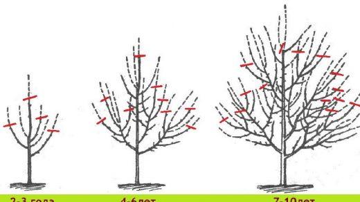 Схема обрезки дерева в зависимости от возраста