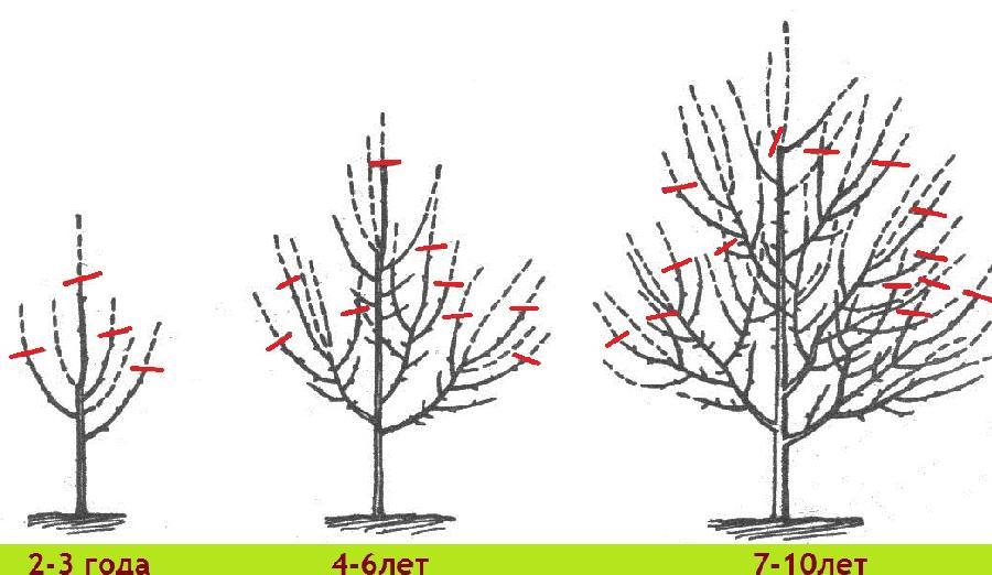 Как правильно сделать обрезку яблоне