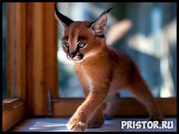 Фото кошек и котят разных пород - прикольные картинки 7