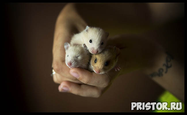 Фото сирийских хомяков, сирийские хомяки в домашних условиях - фото смотреть 14