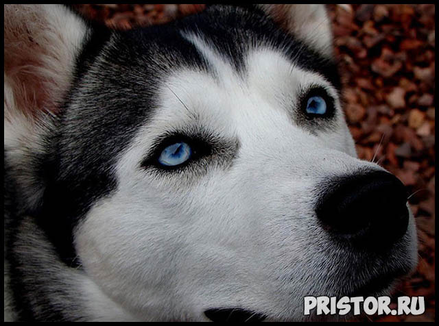 Фото хаски с голубыми глазами, голубоглазые хаски - подборка фото 11