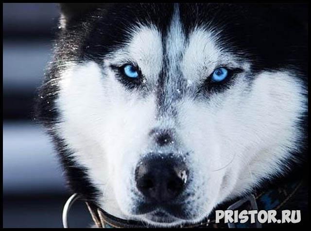 Фото хаски с голубыми глазами, голубоглазые хаски - подборка фото 5