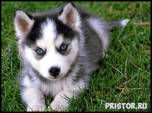 Фото хаски с голубыми глазами, голубоглазые хаски - подборка фото 6
