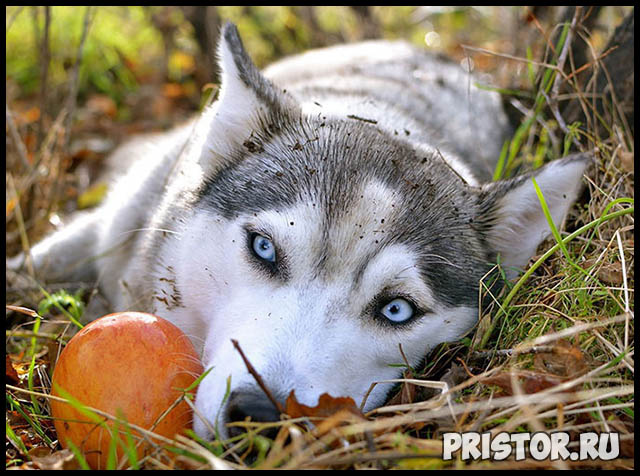 Фото хаски с голубыми глазами, голубоглазые хаски - подборка фото 9