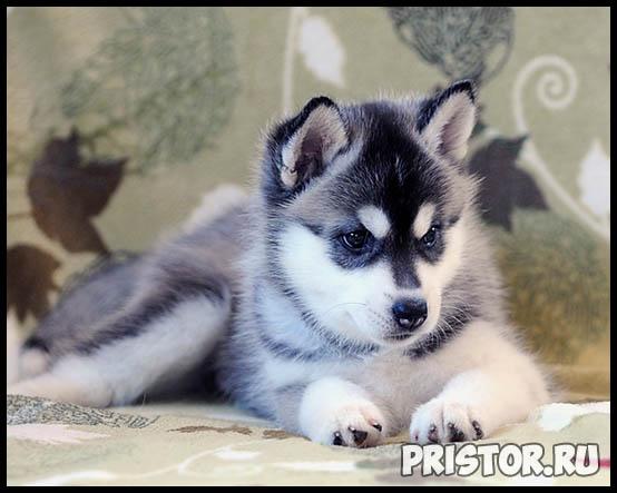 Щенки Хаски и собака породы Хаски - фото смотреть бесплатно 10