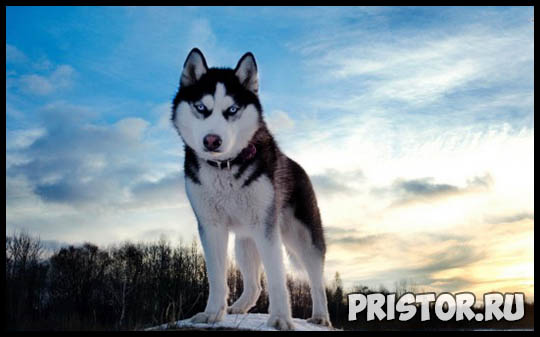 Щенки Хаски и собака породы Хаски - фото смотреть бесплатно 2