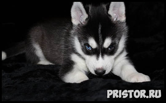 Щенки Хаски и собака породы Хаски - фото смотреть бесплатно 3