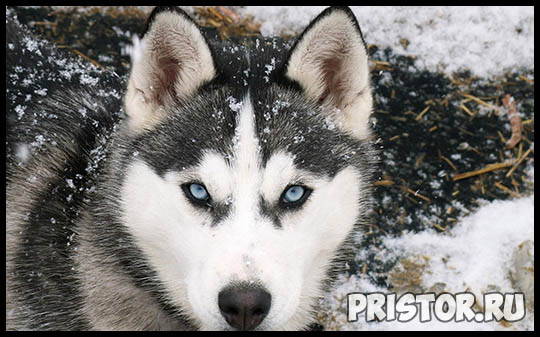 Щенки Хаски и собака породы Хаски - фото смотреть бесплатно 4