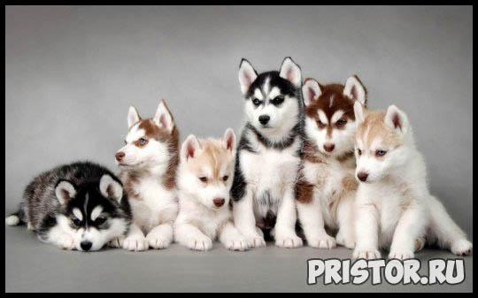 Щенки Хаски и собака породы Хаски - фото смотреть бесплатно 5