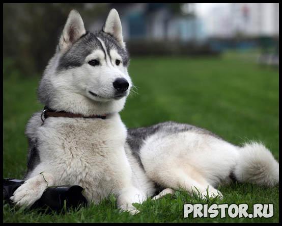 Щенки Хаски и собака породы Хаски - фото смотреть бесплатно 6