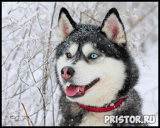 Щенки Хаски и собака породы Хаски - фото смотреть бесплатно 8