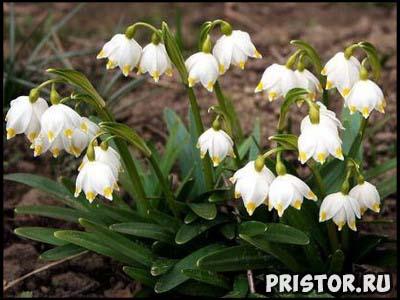 Весенние цветы фото и названия, описание 3