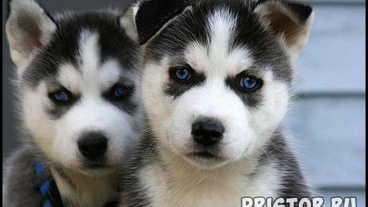 Порода собак Хаски - фото прикольные, красивые 1