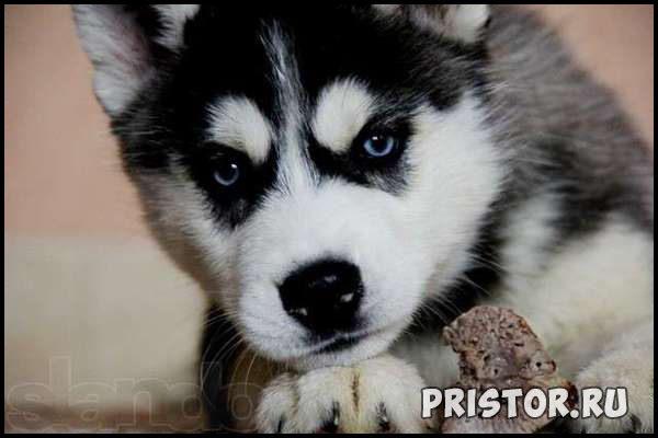 Порода собак Хаски - фото прикольные, красивые 4