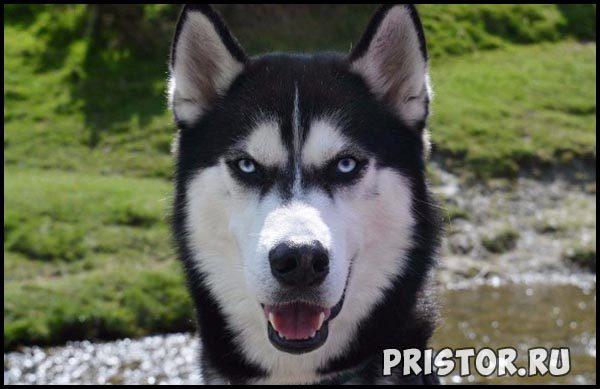 Порода собак Хаски - фото прикольные, красивые 3