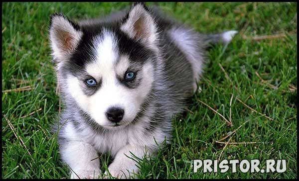 Порода собак Хаски - фото прикольные, красивые 2