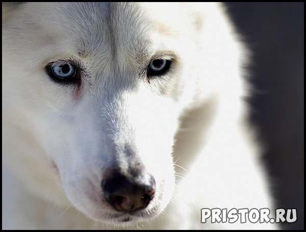 Белые Хаски фото, прикольные фото белых Хаски  1