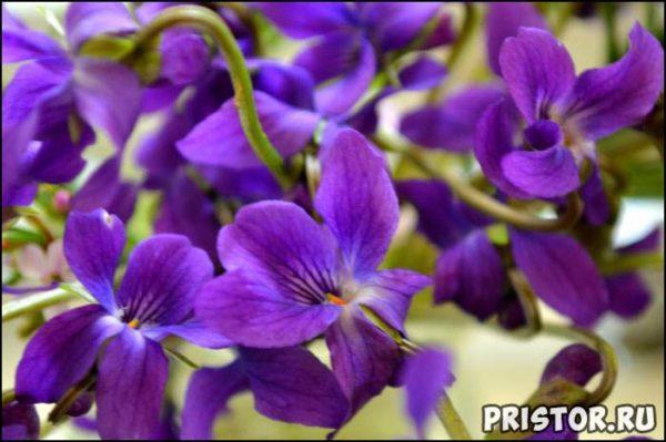 Весенние цветы фото и названия, описание 6