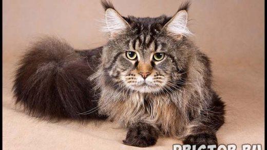 Порода кошек Мейн-кун - фото, описание, уход, характер 2