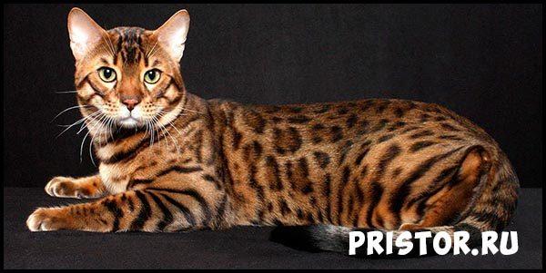 Порода кошек бенгальская - фото, описание, уход, характер 2